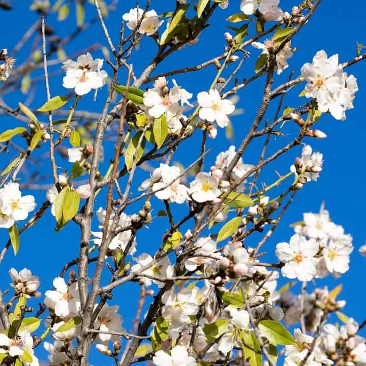 almond tree blossoming